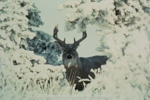 White_tailed_deer_in_Saskatchewan__Canada___medium